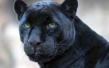 black-panther_1374043893